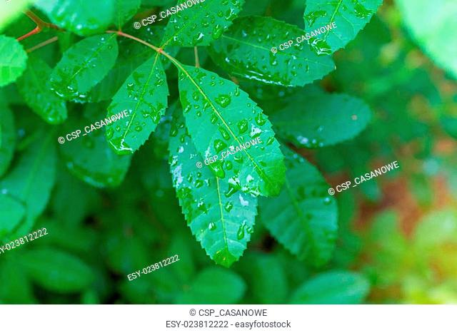 water drop on green leaf nature for background