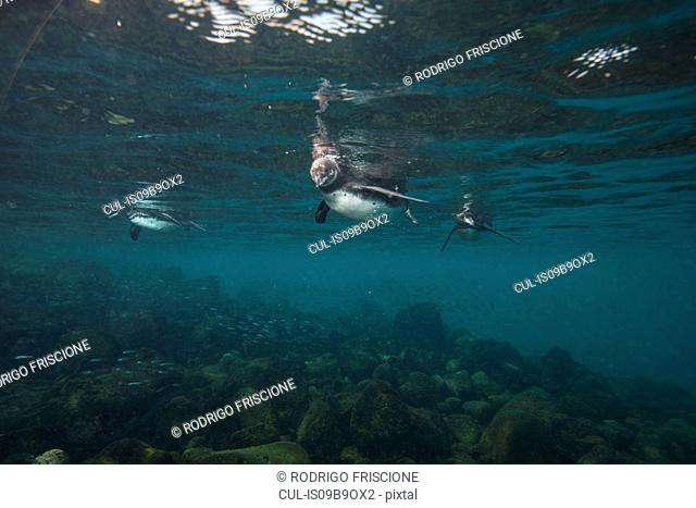 Galapagos Penguins hunting sardines, Seymour, Galapagos, Ecuador
