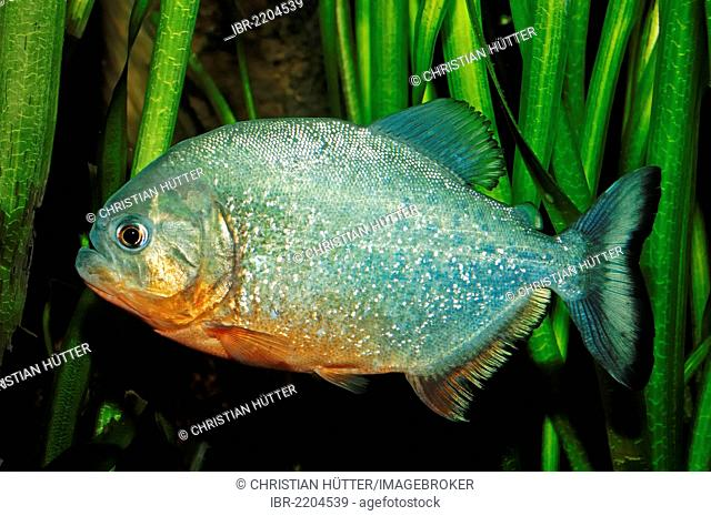 Natterer's Piranha or Red-bellied Piranha (Pygocentrus nattereri, Serrasalmus nattereri, Rooseveltiella nattereri), native to South America, in captivity