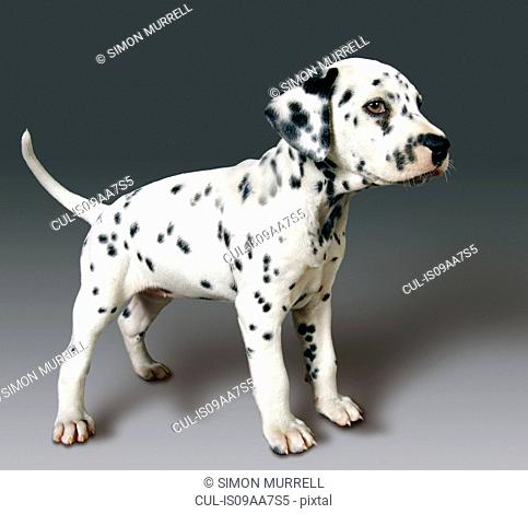 Side view of dalmatian pup