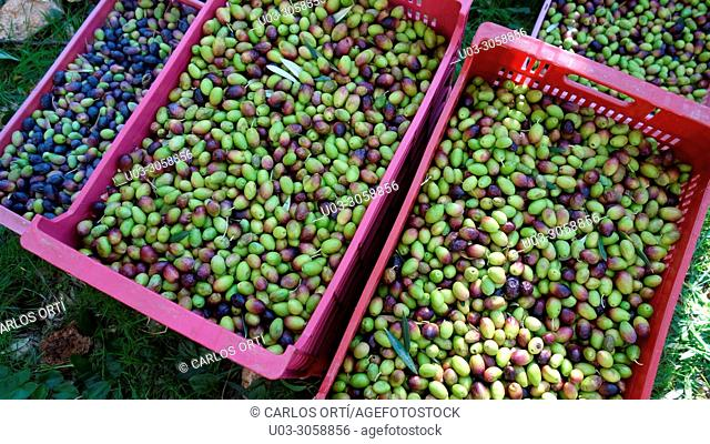 Boxes with olives in a field in Mallorca Island. Spain. Europe