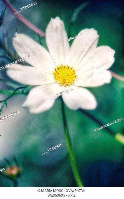 White Cosmos Flower. Cosmos bipinnatus. June 2006. Maryland, USA