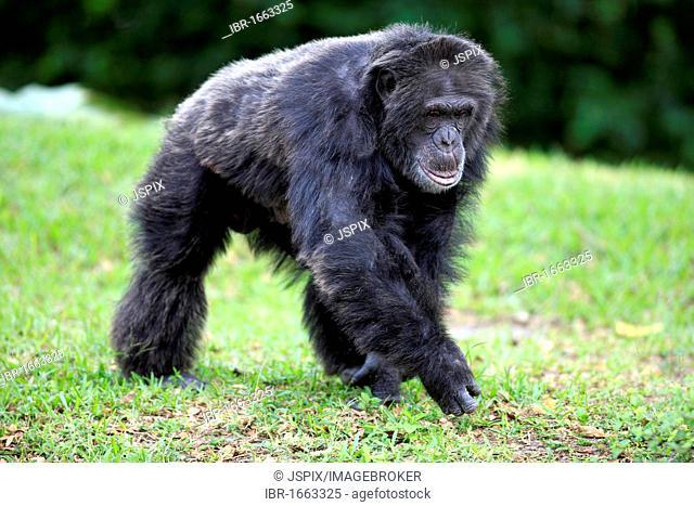 Central Chimpanzee (Pan troglodytes troglodytes), male, Africa
