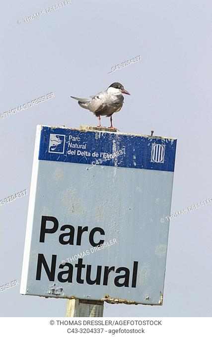 Whiskered Tern (Chlidonias hybrida). Perching on a signpost at the nature reserve. Ebro Delta Nature Reserve, Tarragona province, Catalonia, Spain