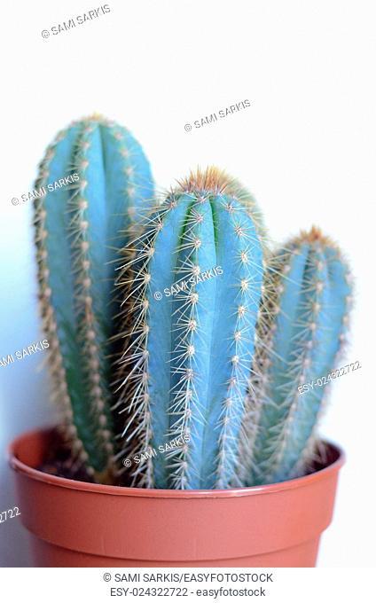 Mini-Cactus in pot, white background
