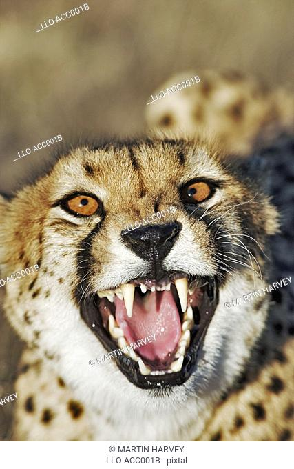 Female Cheetah Acinonyx jubatus with Mouth Open  Harnas Wildlife Sanctuary, Namibia, Southern Africa