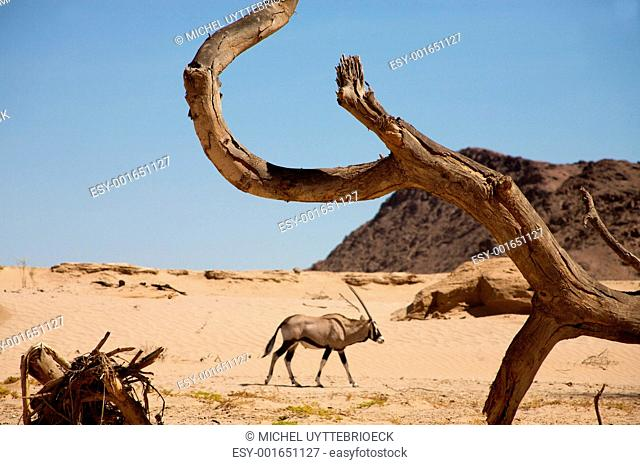 Gemsbok and the dead branch