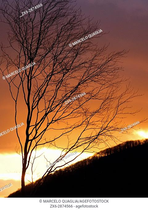 Sunset backlit beech tree on a late winter afternoon. Montseny Natural Park. Barcelona province, Catalonia, Spain