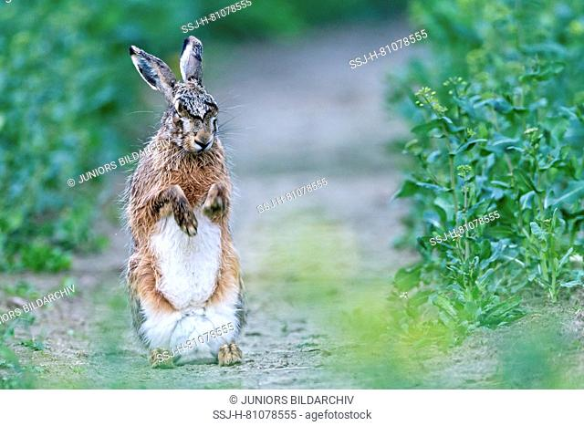 European Brown Hare (Lepus europaeus). Adult in a rapeseed field, drying its coat after a rain shower. Germany