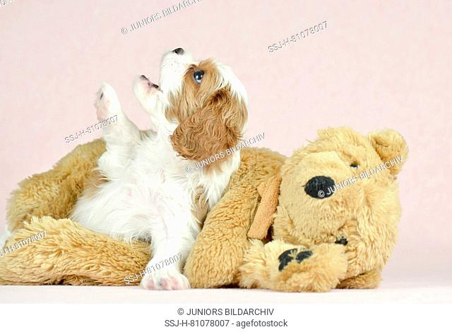 Cavalier King Charles Spaniel. Puppy (5 weeks old) with teddy bear. Studio picture against a pink background. Germany