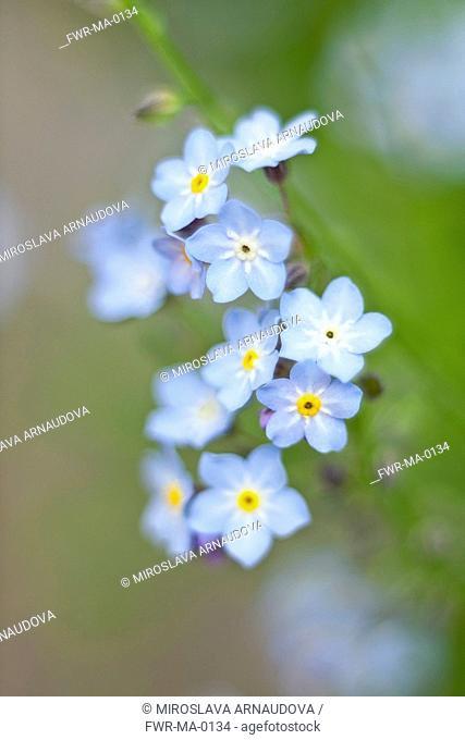 Myosotis arvensis, Forget-me-not, Blue subject