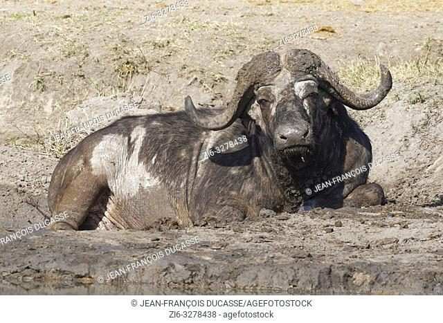 African buffalo (Syncerus caffer), adult male lying in a dry mud hole at a waterhole, Kruger National Park, South Africa, Africa