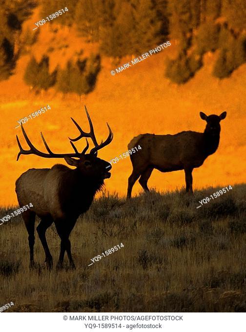Bull Elk Bugling in Morning
