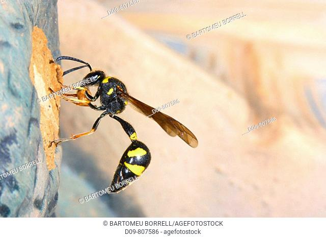 Wasp (Eumenes coarctatus) building its nest with mud