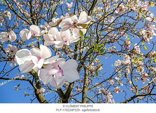 Flowering magnolia showing white flowers in spring