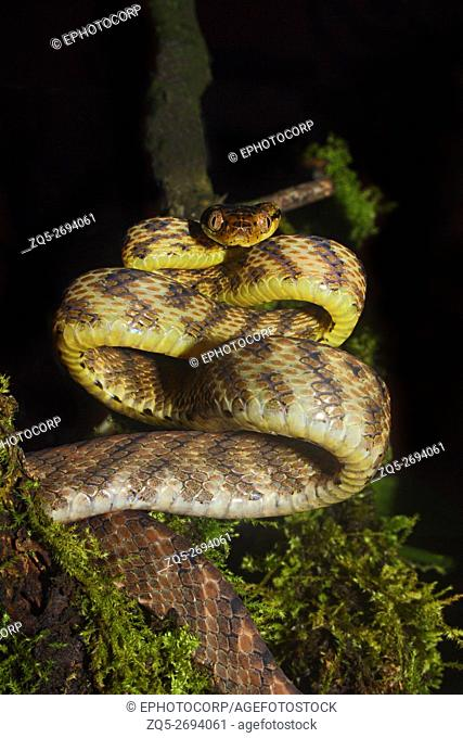 Name: Cat Snake (Boiga sp. Location: Coorg, Karnataka