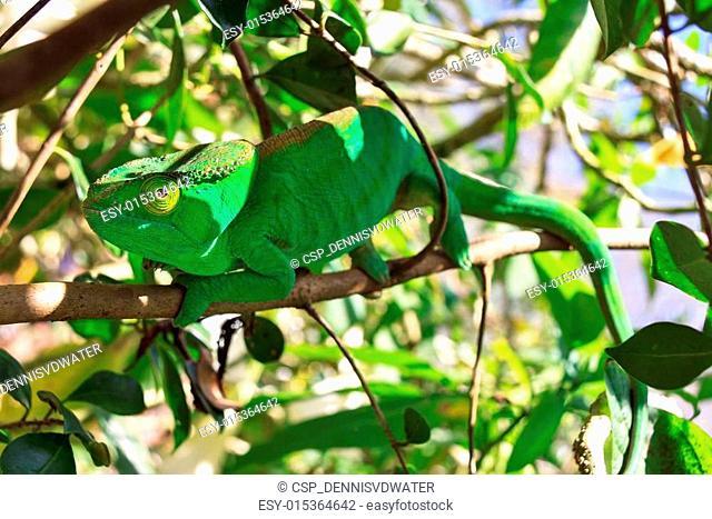 Green camouflaged chameleon