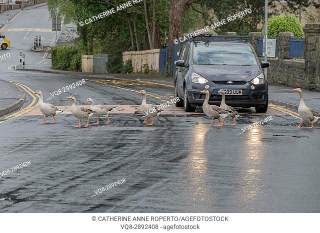Gaggle of geese hold up the traffic to cross the road in reflected headlights on a rainy day in Caerphilly, Wales, UK