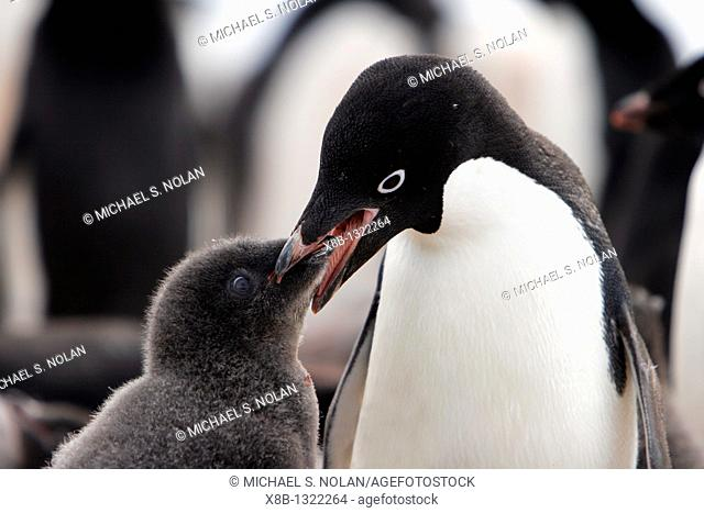 Adelie penguin Pygoscelis adeliae adult feeding chick on Devil Island near the Antarctic Peninsula