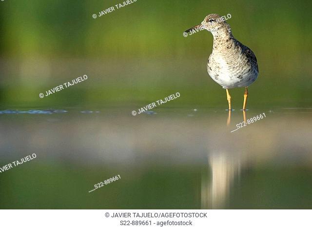 Ruff (Philomachus pugnax)