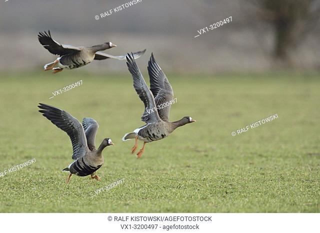 White-fronted Geese ( Anser albifrons ) taking off from a field of winter wheat, leaving their feeding ground, wildlife, Europe.