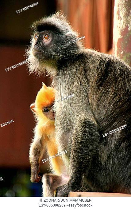 Silvered leaf monkey with a young baby, Sepilok, B