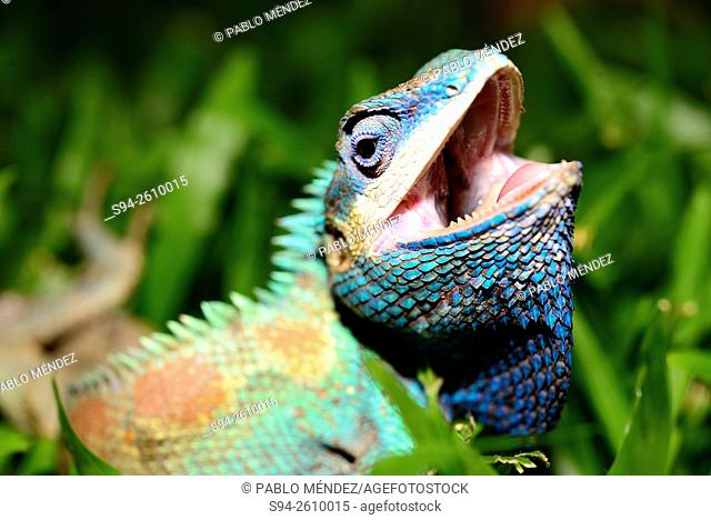 Blue crested lizard (Calotes mystaceus) in Chiang Mai, Thailand