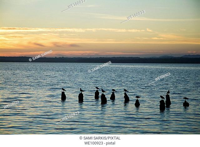 Seagulls perching on old wooden posts at sunrise, Cienfuegos Bay, Cuba