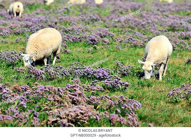 A HERD OF SALT MEADOW SHEEP GRAZING ON SEA LAVENDER, BAY OF SOMME, SOMME 80, FRANCE