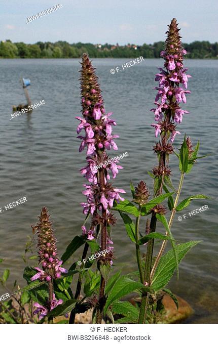marsh betony, marsh woundwort, swamp hedge-nettle, marsh hedge-nettle (Stachys palustris), bloomng, Germany