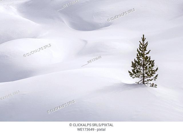 A lone tree into the snow, Passo Valparola, Belluno, Veneto, Italy, europe