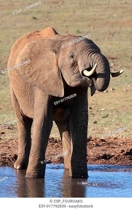 African Elephant at Waterhole