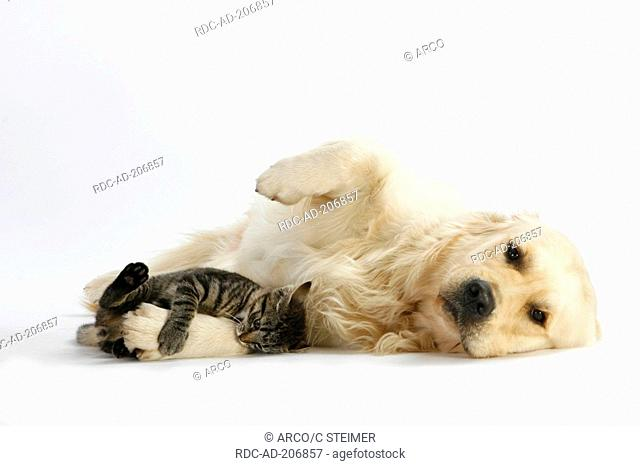 Golden Retriever and Domestic Cat, kitten