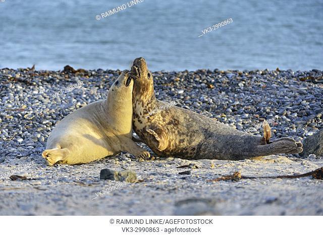 Grey Seal, Halichoerus grypus, fighting Mating Season, Helgoland, Dune, North Sea, Island, Schleswig-Holstein, Germany