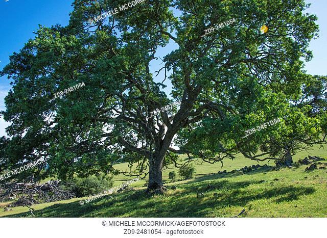 Majestic oaks highlight a California landscape