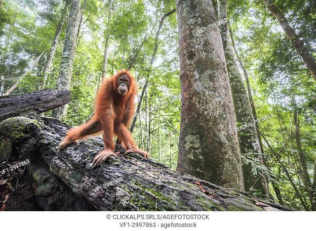 Sumatran orangutan, Pongo Abelii, Gunung Leuser National Park, Sumatra, Indonesia