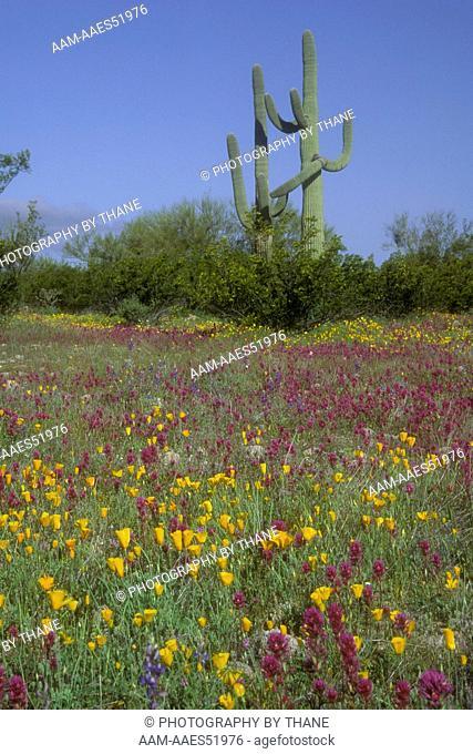Blooming Desert w/ Owl's Clover, Mex. Poppies & Saguaro, AZ 91A-35-1-E-92 Organ Pipe N.M