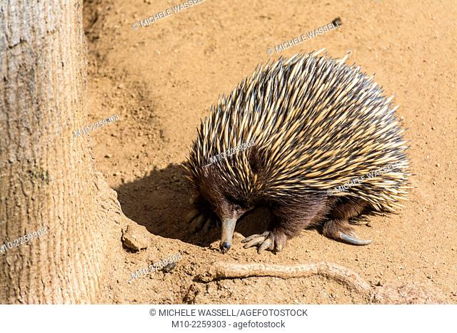 Short-nosed Echidna (Tachyglossus aculeatus) on alert looking for ants to eat