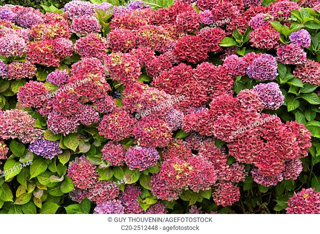 Mauve, pink and red Hydrangeas, Cotentin, Normandy, France