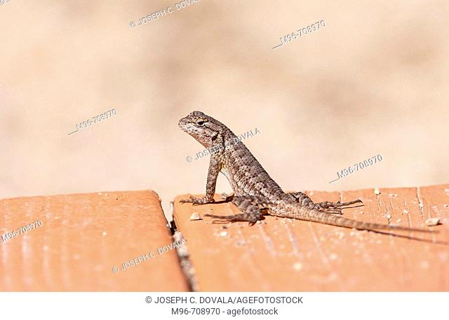 Chapparal lizard.Thousand Oaks. California, Usa