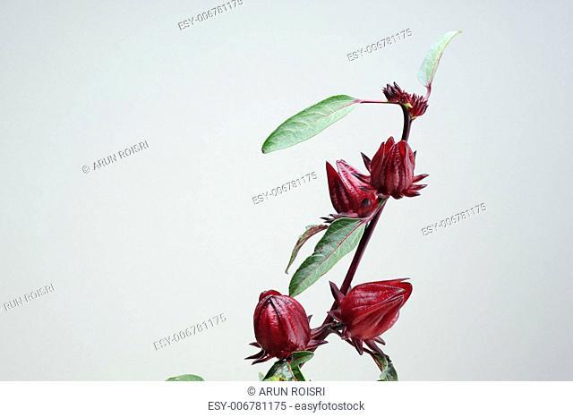 Roselle fruits on tree