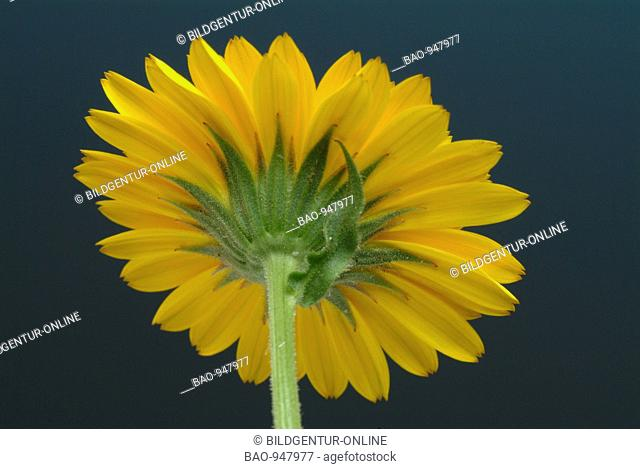 Blossom of the medicinal plant Ringelblume, Marigold, Calendula officinalis