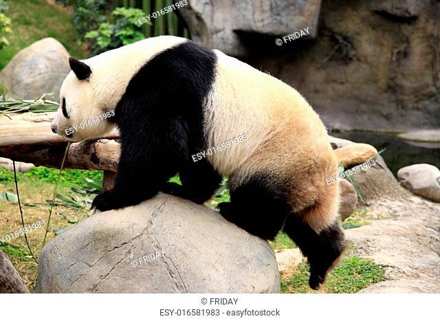 Big panda in zoo Hong Kong