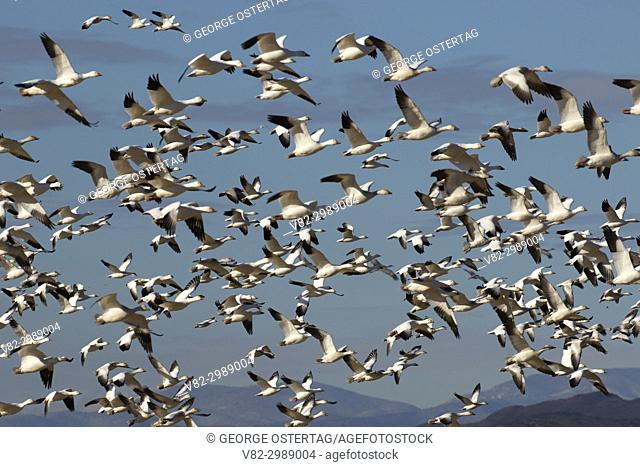 Snow geese flock in flight, Bosque del Apache National Wildlife Refuge, New Mexico
