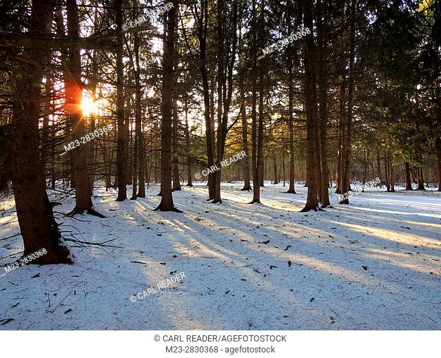 The winter sunset throws shadows across the snowy floor of a pine forest at Lake Nockimixon, Pennsylvania, USA