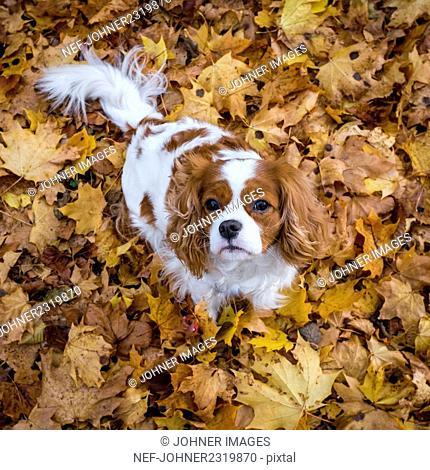 Dog among autumn leaves