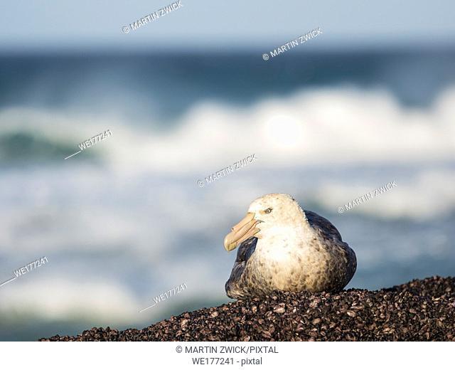 Southern Giant Petrel (Macronectes giganteus), sitting on rock at coast of the Falkland Islands. South America, Falkland Islands, January
