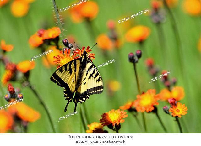 Canadian tiger swallowtail (Papilio Canadensis) Nectaring orange hawkweed, Greater Sudbury, Ontario, Canada