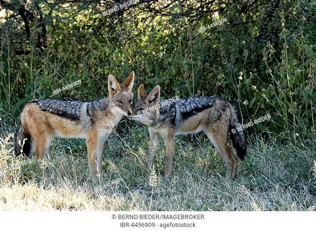 Black-backed jackal (Canis mesomelas) pair, Nxai Pan National Park, Botswana