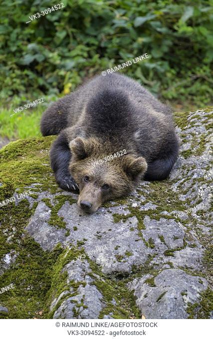 European Brown Bears, Ursus arctos, Cub lying on rock, Bavaria, Germany